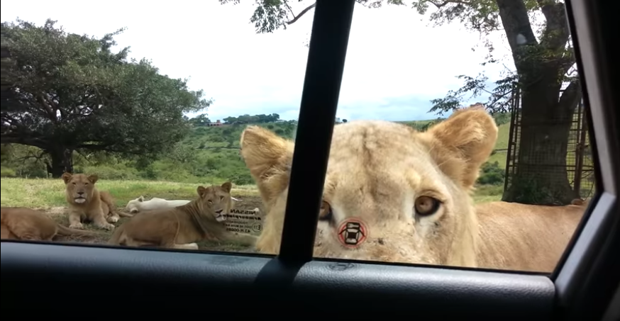 Curios lion | open car door | South Africa